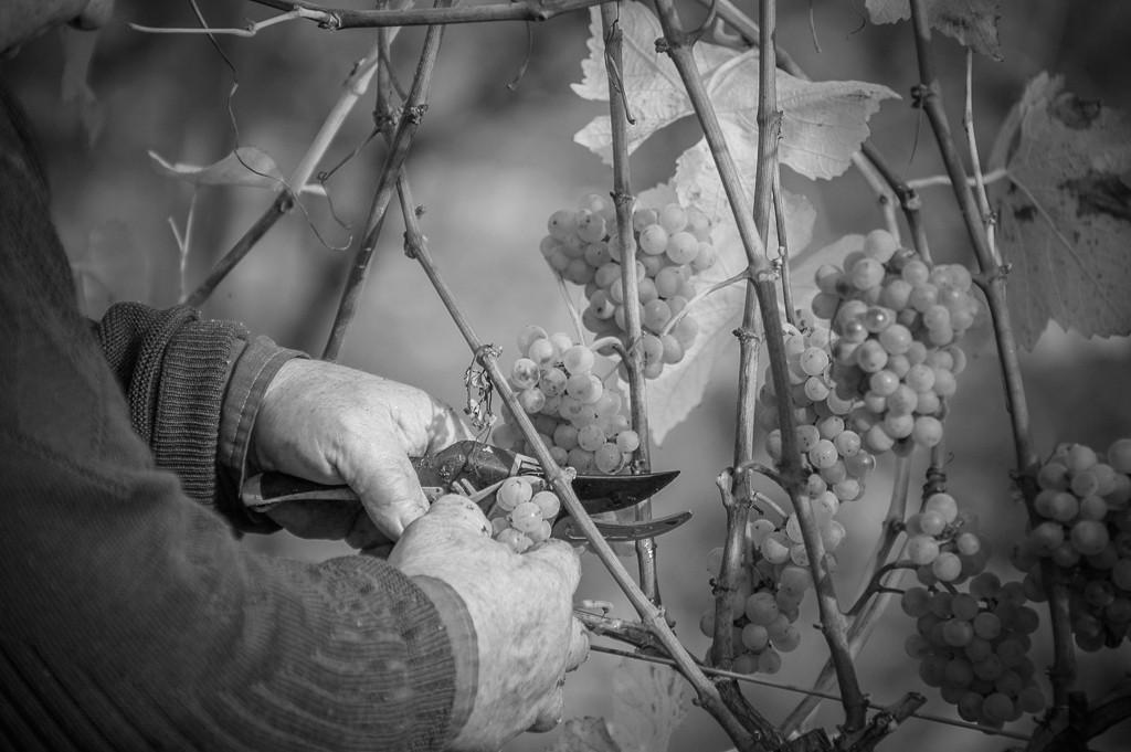 Weinernte Weingut Weinrieder